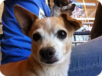 Chihuahua Mix Dog for adoption in Las Vegas, Nevada - Marty