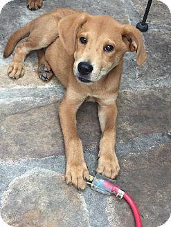 Shepherd (Unknown Type) Mix Puppy for adoption in Burlington, Vermont - Jenner