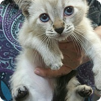 Adopt A Pet :: Sugar Muffin - Ogden, UT