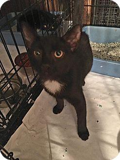 Domestic Shorthair Kitten for adoption in Bronx, New York - Chloe