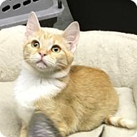 Adopt A Pet :: Buttercup - Butner, NC