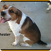 Beagle Mix Dog for adoption in Malvern, Arkansas - CHESTER