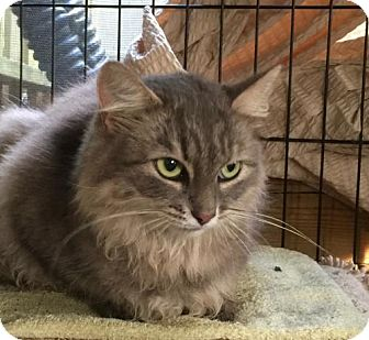 Domestic Longhair Cat for adoption in Flint HIll, Virginia - Kiki