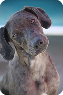 Catahoula Leopard Dog/Labrador Retriever Mix Puppy for adoption in Mahwah, New Jersey - Simone MLK- PENDING ADOPTION!