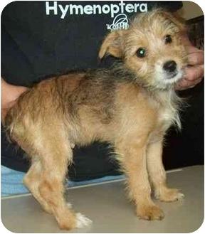 Dog Ready For Adoption Yorkshire Terrier Yorkie Border ...