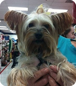 Yorkie, Yorkshire Terrier Dog for adoption in Studio City, California - Gelsey