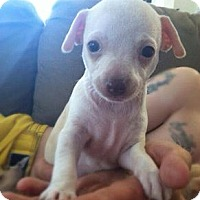 Adopt A Pet :: Chihuahua Puppies - Honolulu, HI