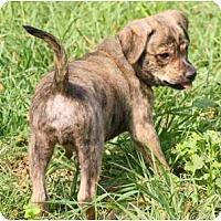 Adopt A Pet :: DOUGIE - Bryan, TX