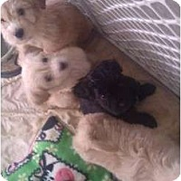 Adopt A Pet :: MINI GOLDENDOODLES!litter of 7 - Phoenix, AZ