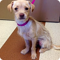 Adopt A Pet :: Dusty - Norwalk, CT
