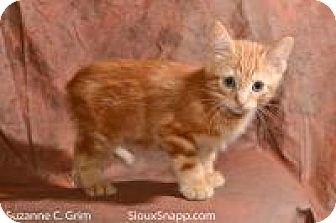 Domestic Longhair Kitten for adoption in New Orleans, Louisiana - Tigger