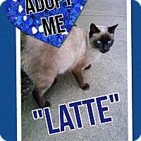 Adopt A Pet :: Latte - Arlington/Ft Worth, TX