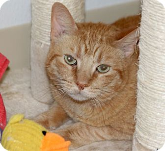 Domestic Shorthair Cat for adoption in Harrison, New York - Magoo