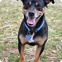 Adopt A Pet :: Achilles - NEW VIDEO - Westport, CT