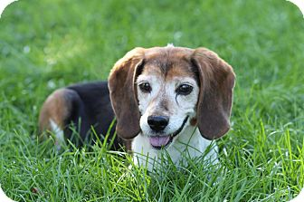 Beagle Dog for adoption in Midland, Michigan - Crockett - NO FEE