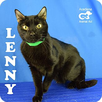 Domestic Shorthair Cat for adoption in Carencro, Louisiana - Lenny