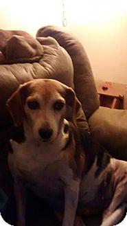 Beagle Mix Dog for adoption in Mtn Grove, Missouri - Jilly