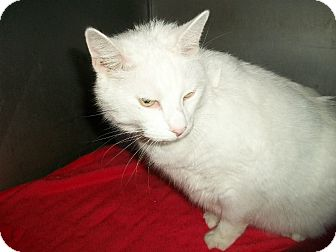 Domestic Shorthair Cat for adoption in Flint, Michigan - Monica