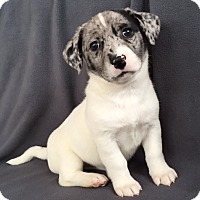 Australian Shepherd Mix Puppy for adoption in Hainesville, Illinois - Everest