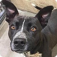 Adopt A Pet :: Tomy - Springdale, AR