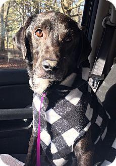 Labrador Retriever/Border Collie Mix Dog for adoption in Bridgewater, New Jersey - Alexander