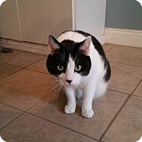 Domestic Mediumhair Cat for adoption in Lafayette, Indiana - Winchester