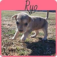 Adopt A Pet :: Ryo - New Milford, CT