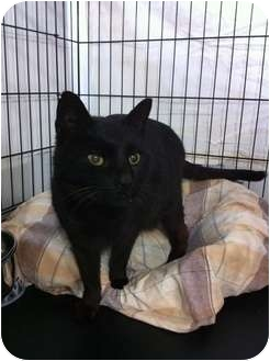 Domestic Mediumhair Cat for adoption in Smithtown, New York - Lil' Quinn