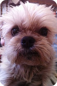 Brussels Griffon Dog for adoption in Mesa, Arizona - TOBY - ADOPTION PENDING