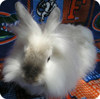 Angora, English Mix for adoption in Williston, Florida - Mason
