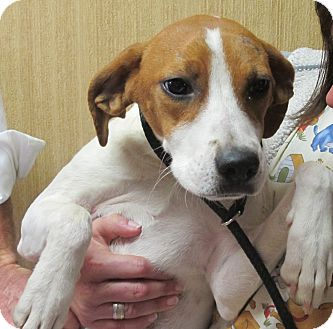 Terrier (Unknown Type, Medium)/Beagle Mix Dog for adoption in Washington, D.C. - Grace