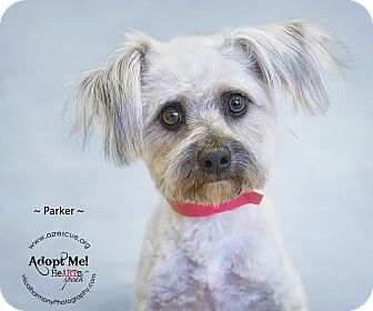 Maltese Mix Dog for adoption in Phoenix, Arizona - Parker