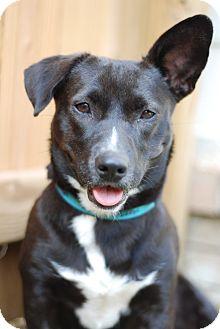 Terrier (Unknown Type, Medium)/Corgi Mix Dog for adoption in Marietta, Georgia - Charlotte