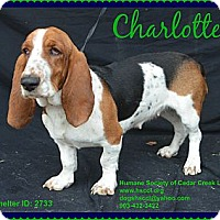 Adopt A Pet :: Charlotte - Plano, TX