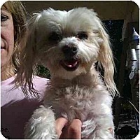 Adopt A Pet :: Snowflake - Phoenix, AZ