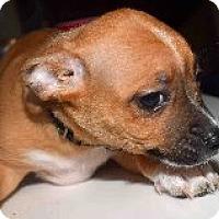 Adopt A Pet :: Basenji Puppies/Male!!!! - Phoenix, AZ