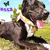 Great Dane/American Staffordshire Terrier Mix Dog for adoption in Converse, Texas - Contessa