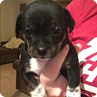 Adopt A Pet :: Chelsea - Henderson, NV