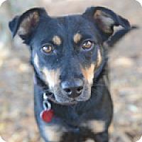Adopt A Pet :: BABY GIRL now CRICKET - Pt. Richmond, CA