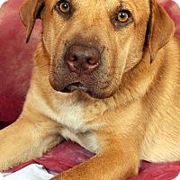 Adopt A Pet :: Buddy Labtiff - St. Louis, MO