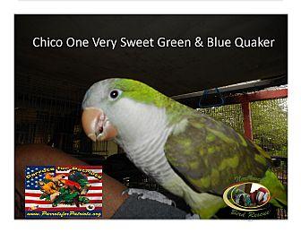 Parakeet - Quaker for adoption in Vancouver, Washington - Chico'- Blue/Green Quaker