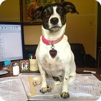 Rat Terrier Dog for adoption in Glastonbury, Connecticut - Molly