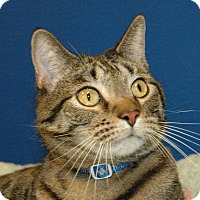 Domestic Shorthair Cat for adoption in Cincinnati, Ohio - Burt Reynolds