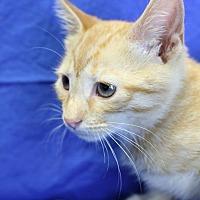 Domestic Shorthair Kitten for adoption in Winston-Salem, North Carolina - Sherwood