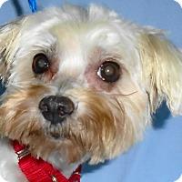 Adopt A Pet :: Sissy - St Louis, MO
