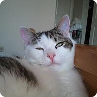 Domestic Shorthair Cat for adoption in Novato, California - Charlie