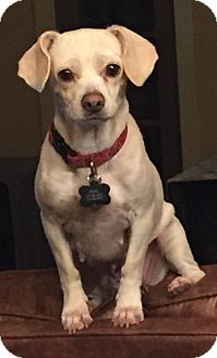 Chihuahua Mix Dog for adoption in Houston, Texas - Jewell