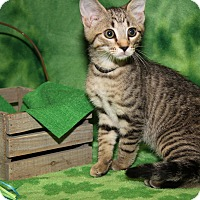 Domestic Shorthair Cat for adoption in Marietta, Ohio - Chocolate Chip -Sasha's Kitten