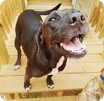 Labrador Retriever/Terrier (Unknown Type, Medium) Mix Dog for adoption in Kingston, Tennessee - Lucy