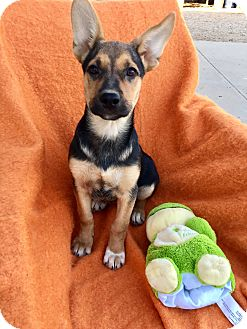 German Shepherd Dog Mix Puppy for adoption in Studio City, California - Harley